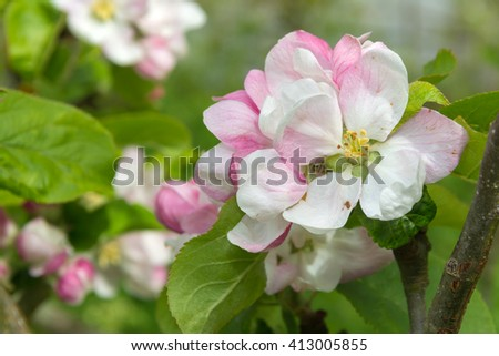 Apple blossom in springtime with pink and white flowers - stock photo