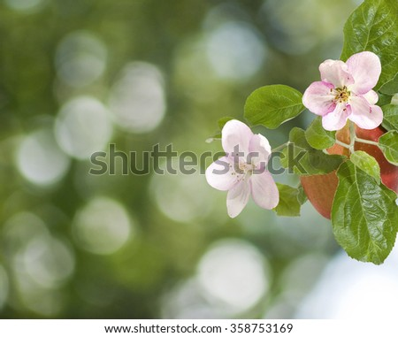 apple blossom in the garden on a green background - stock photo