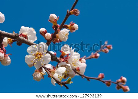 apple blossom on a blue sky background