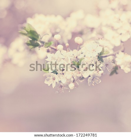 apple blossom vintage background - stock photo