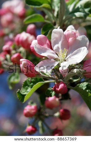 apple blossoms against blue sky on a sunny day - stock photo