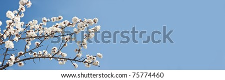 Apple blossoms in early spring. Kiev,Ukraine - stock photo