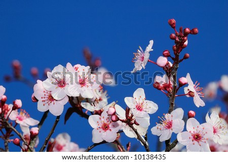 Apple blossoms in early spring. Shot in Larkspur, San Francisco Bay Area, California. - stock photo