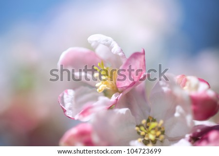 Apple Blossoms in Spring - stock photo