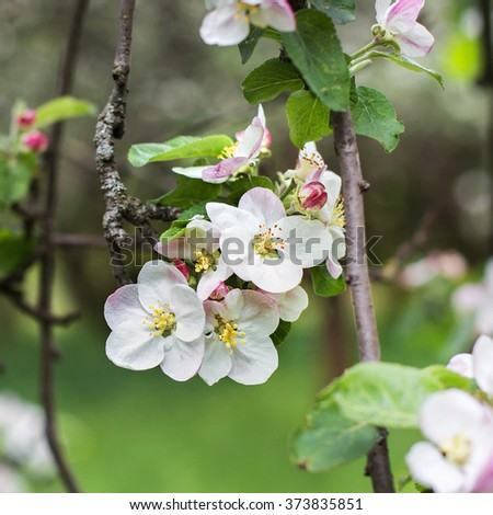 apple blossoms in spring on a green background - stock photo