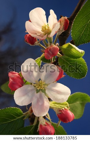 Apple blossoms in the evening sun - stock photo
