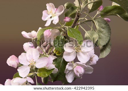 Apple blossoms on a black background with dew drops