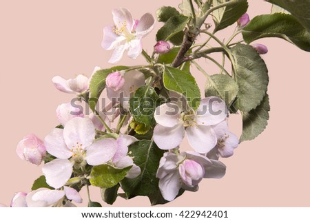 Apple blossoms on a black background with dew drops - stock photo