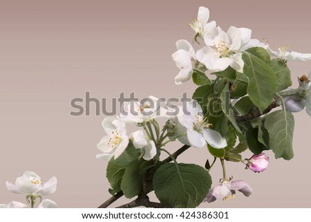 Apple blossoms on dark background inhomogeneous with dew drops