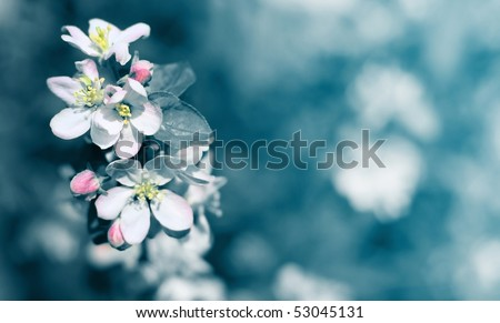 Apple blossoms over abstract blue background - stock photo