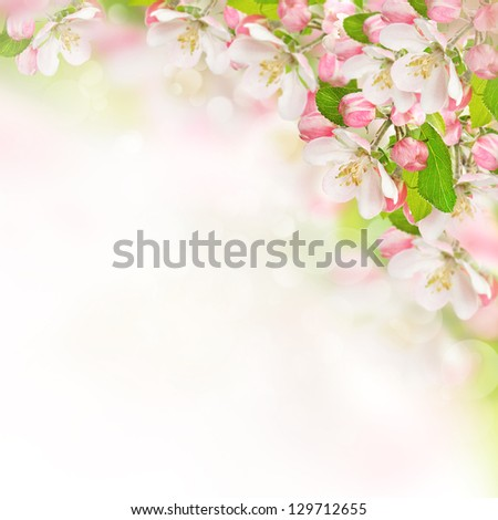 apple blossoms over blurred nature background. spring flowers - stock photo
