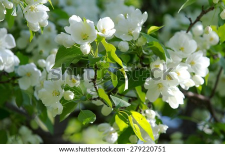 apple blossoms Spring - stock photo