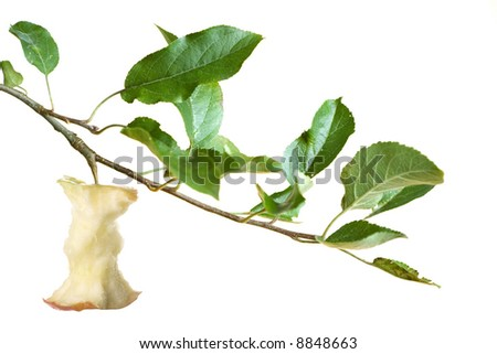 apple core on a branch isolated on a white background. focus on apple - stock photo