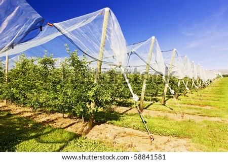 Apple fields - stock photo