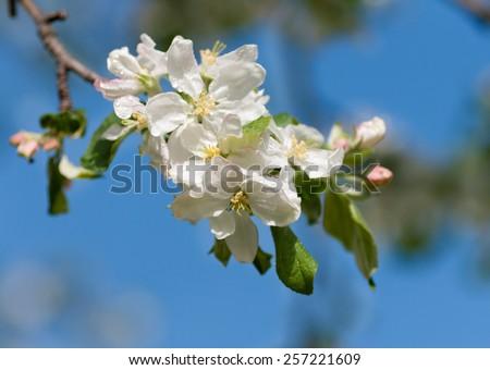apple flower against the blue sky - stock photo