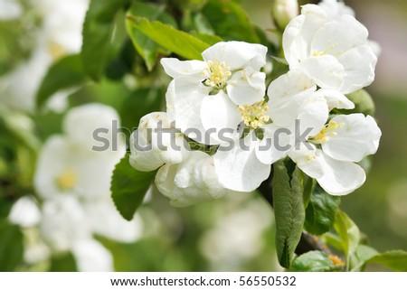 apple flowers - stock photo
