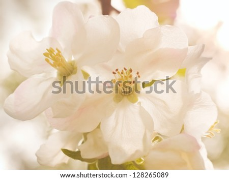 Apple flowers close up background - stock photo