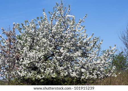 apple flowers - flowering crabapple