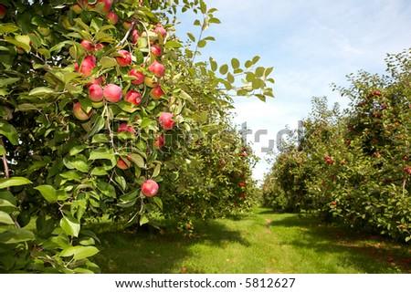 Apple garden - stock photo