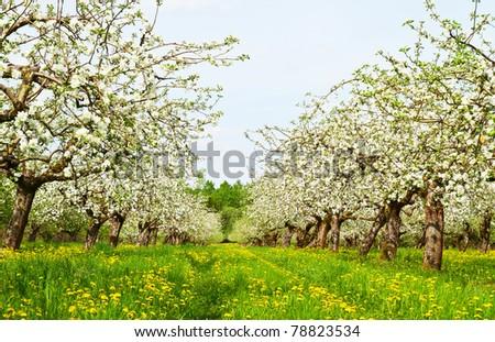 apple garden blossom - stock photo