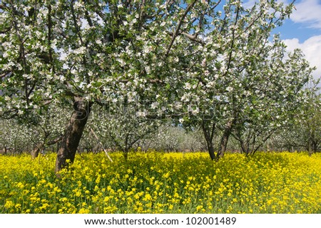 Apple garden blossom with rapeseed flower on the ground - stock photo