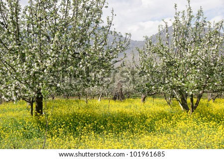 apple garden blossom with rapeseed flower on the ground , Pahalgam - Jammu and Kashmir India - stock photo