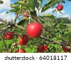 Apple garden full of riped red apples - stock photo