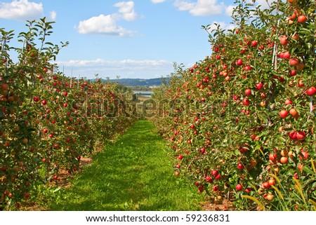 Apple garden full of riped red apples - stock photo