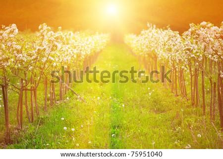 Apple garden in blossom in sunrise light. Shallow DOF, focus on front trees. - stock photo