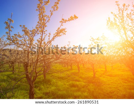 apple garden with flowers in the spring at sunset. natural composition