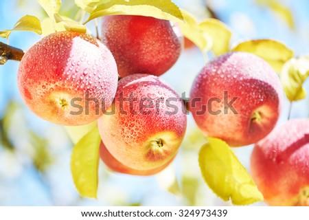 Apple harvest. Fresh red fruit on tree branch in farm orchard garden - stock photo