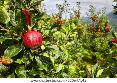 Apple in an apple orchard in Norway - stock photo
