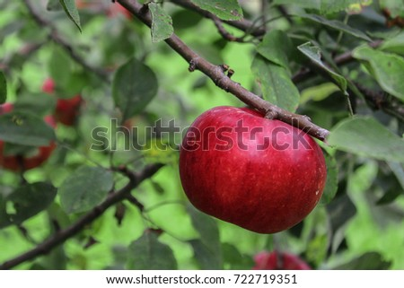 Apple in Tree in August