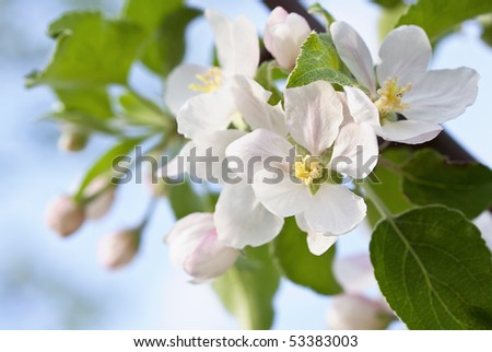 Apple inflorescence in sunshine - stock photo