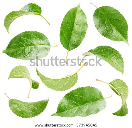 Apple leaves collection isolated on white background