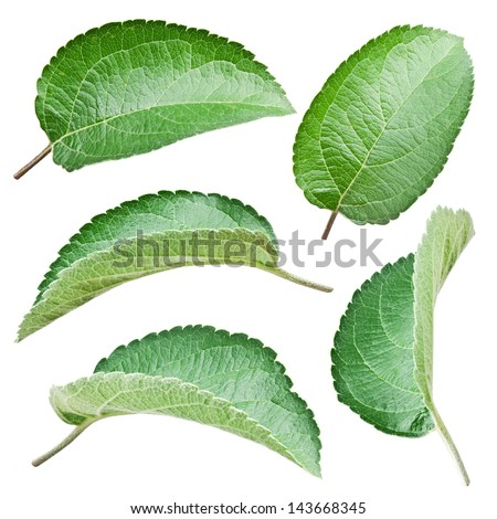 Apple leaves isolated on a white background. - stock photo