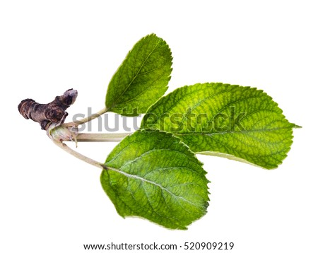 Apple Leaf Stock Images, Royalty-Free Images & Vectors ...