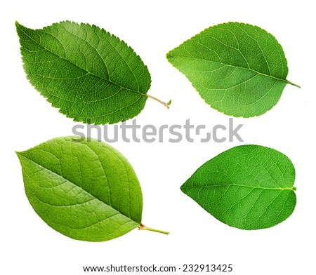 Apple leaves isolated on white background. - stock photo