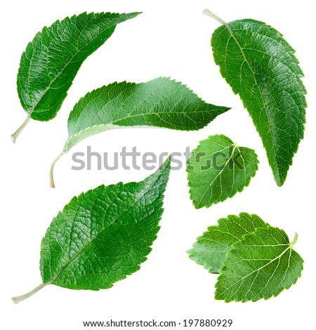 Apple leaves isolated on white. Collection - stock photo