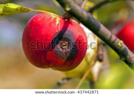 Apple on a branch , Defocus - stock photo