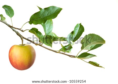 apple on a branch isolated on a white background .focus on apple - stock photo