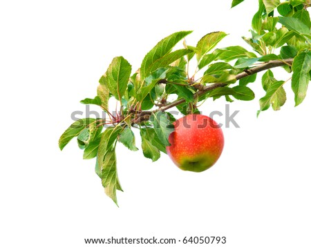 Apple on branch - stock photo