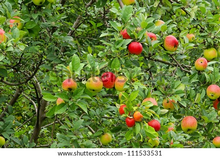 apple on tree - stock photo