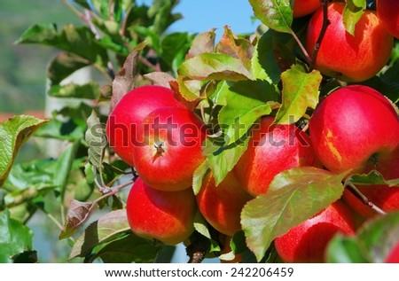 apple on tree - stock photo