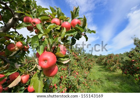 Apple Orchard - stock photo