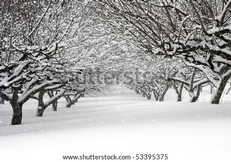 apple orchard in a  winter snowstorm