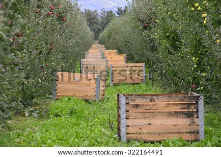Apple Orchard  With Crates Ready for harvesting  - stock photo
