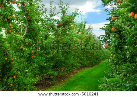 Apple orchard with red ripe apples on the trees under blue sky - stock photo