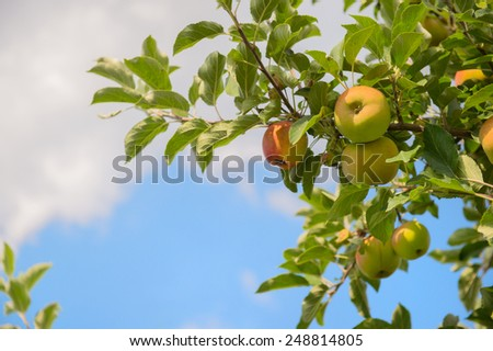 Apple orchard with ripe apples at the trees - stock photo
