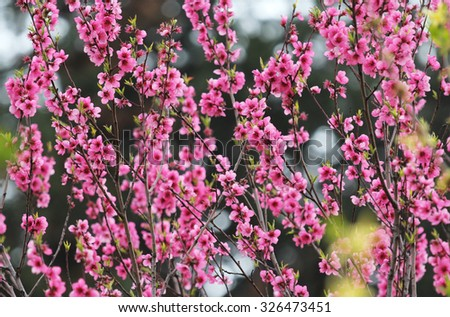 Apple pink flowers - stock photo